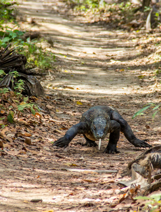 A Komodo Dragon approaching. Better make way for this bad boy!