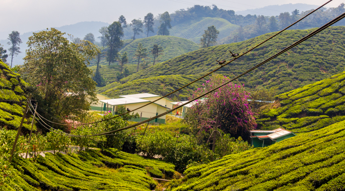 On the way to the Boh Te Plantation down South.