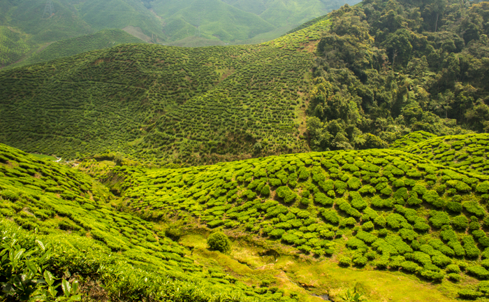 Too much tea