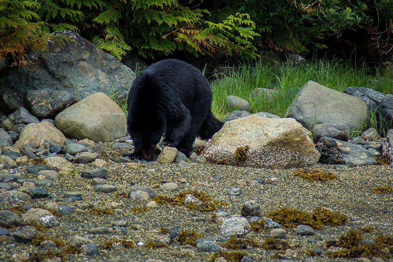 Black Bear feeding
